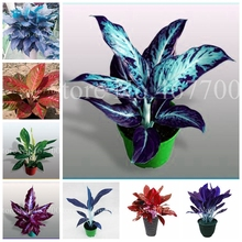 200 pcs Colorful Aglaonema bonsai 'Pink Dud' Beautiful Outdoor Mosaic Plants Rare Potted Plant Flower, Purifying Air Flower