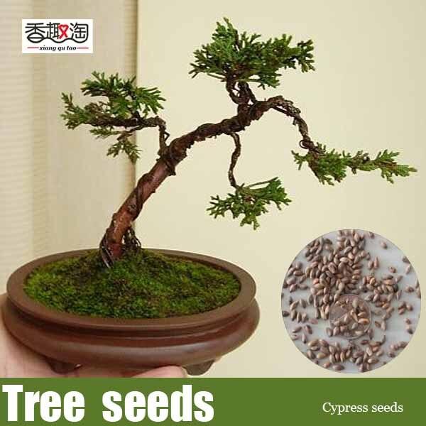 Free shipping 50pcs Cypress trees Platycladus orientalis seeds Conifer seeds DIY home garden bonsai tree seed