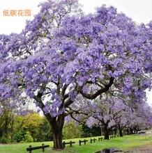 Jacaranda Mimosifolia Bonsai Tree seeds 50pcs