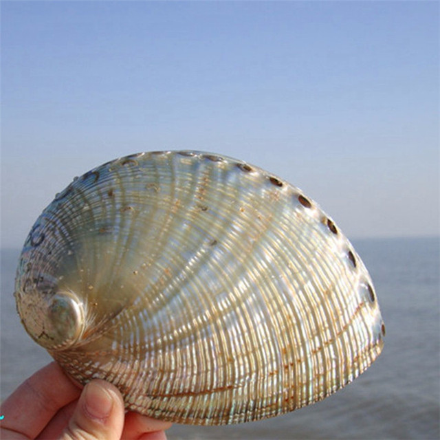 1PCS 12-14cm Haliotis Roei Haliotis Ovina Ass's Ear Abalone Super Natural Conch Sea Shell Home Wedding Decoration Natural Crafts