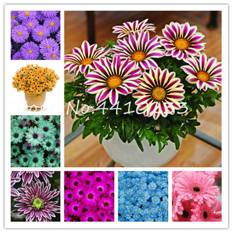 Sale ! 120 Pcs Bonsai Rare Japan Daisy Ground-Cover Chrysanthemum Perennial Beauty Daisy Flower Home Garden Plants Easy To Grow
