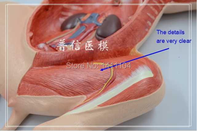 Libera la nave y la anatomía Animal, cerdo anatomía, modelo de ...