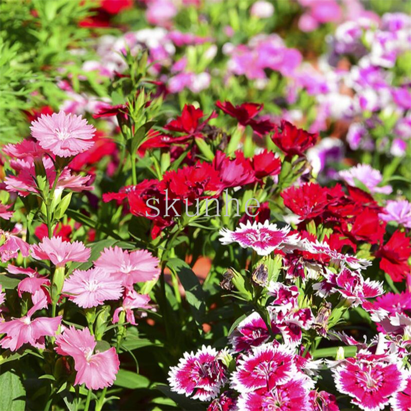 Hot sale colorful dianthus bonsai perennial herbaceous flowering s colorful dianthus bonsai perennial herbaceous flowering s office balcony garden planting potted flower 100pcswu cai shi zhu mightylinksfo
