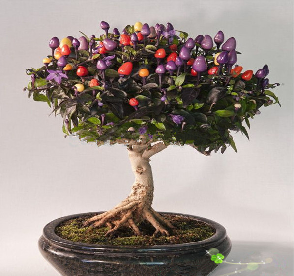 Potted vegetable seeds colored colorful 100 chili peppers seeds edible ornamental bonsai plant