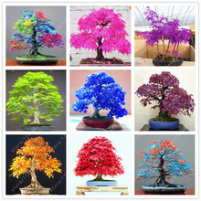 40 pcs/bag japanese maple seeds, toronto leafs, bonsai tree seeds perennial flowers plant pot fire for home garden