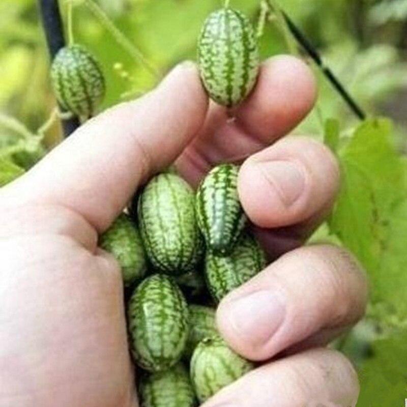60 unids mini pulgar sandía semillas plantar en maceta hogar y