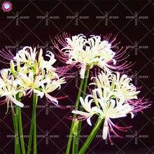 2pcs Radiata Bana Bulbs Indoor Bonsai Flower Bulbs NOT SEEDS Perennial Plants Pot for Home Garden Decor Manjusaka Best packaging