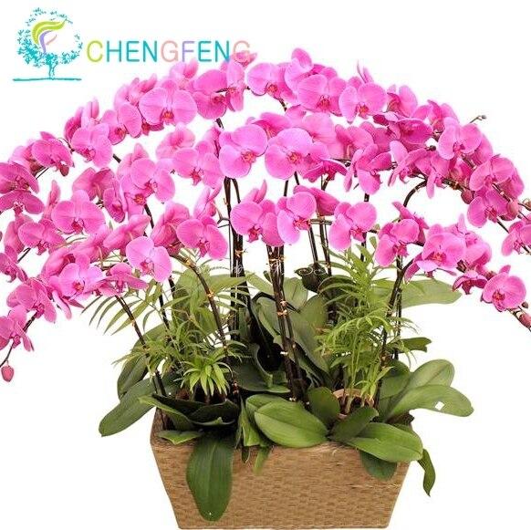 Vendita calda 100 pz orchidea phalaenopsis bonsai farfalla Rare bella fiore bons