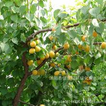 apricot fruit plant almond apricot North apricot plum real locations wild apricot bonsai 200g / Pack