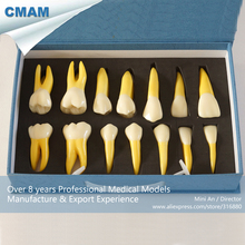 CMAM-DH410 4x Life Size Permanent Anatomical / (Right 14)