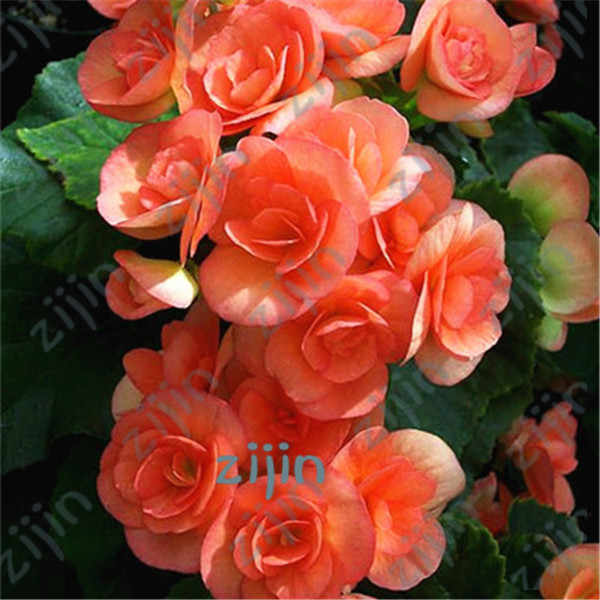 50Pcs Mixed Begonia Flower Potted Bonsai Indoor Decoratie Beautiful Garden Wall Plant Home Decor Christmas(hai tang)
