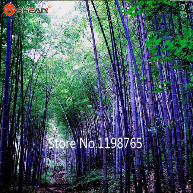 2016 new arrival rare purple timor bamboo seeds black bamboo seeds planted courtyard diy home garden - Bamboo Garden 2016