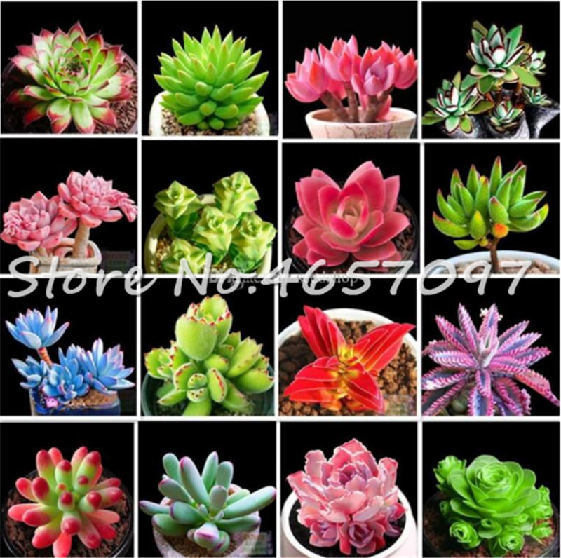 200 Pcs Succulent Bonsai Plant, Natural Air Purifier Easy To Grow Potted Plant Beauty Flower Bonsai For Garden Purify The Air(China)