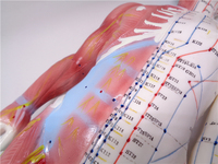 XC 518 60cm male acupuncture muscle human anatomy English code model with manual