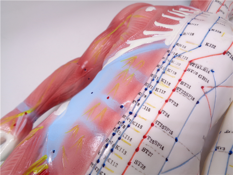 XC-518 60cm male acupuncture muscle human anatomy English code model with manual bix y1005 standard anatomical acupuncture model 60cm