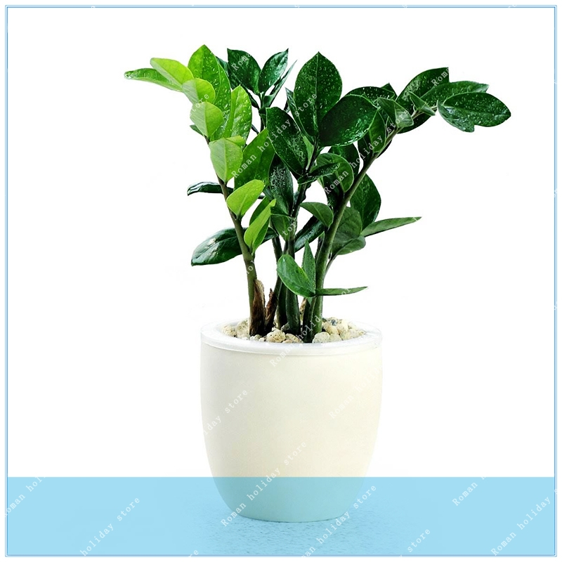 Zlking 2pcs /bag Pachira Macrocarpa Pachira Pachira Aquatica Bonsai Tree Potted Flower Money Tree Driving A Roaring Trade Home & Garden