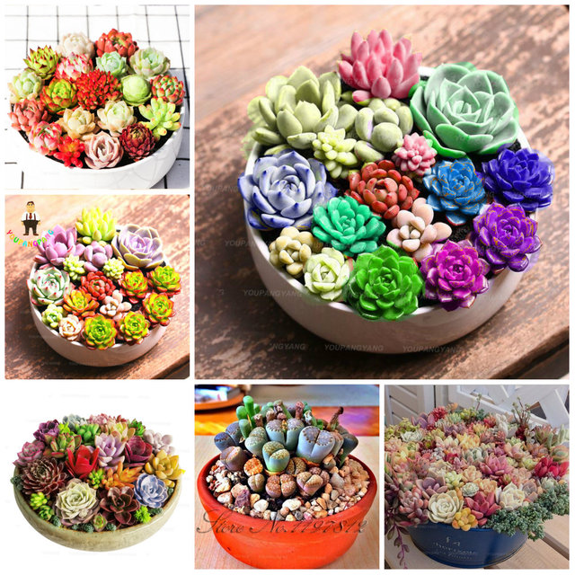 100 pcs rare succulents bonsai plants mix lithops flores cactus garden plants earsy to grow flower