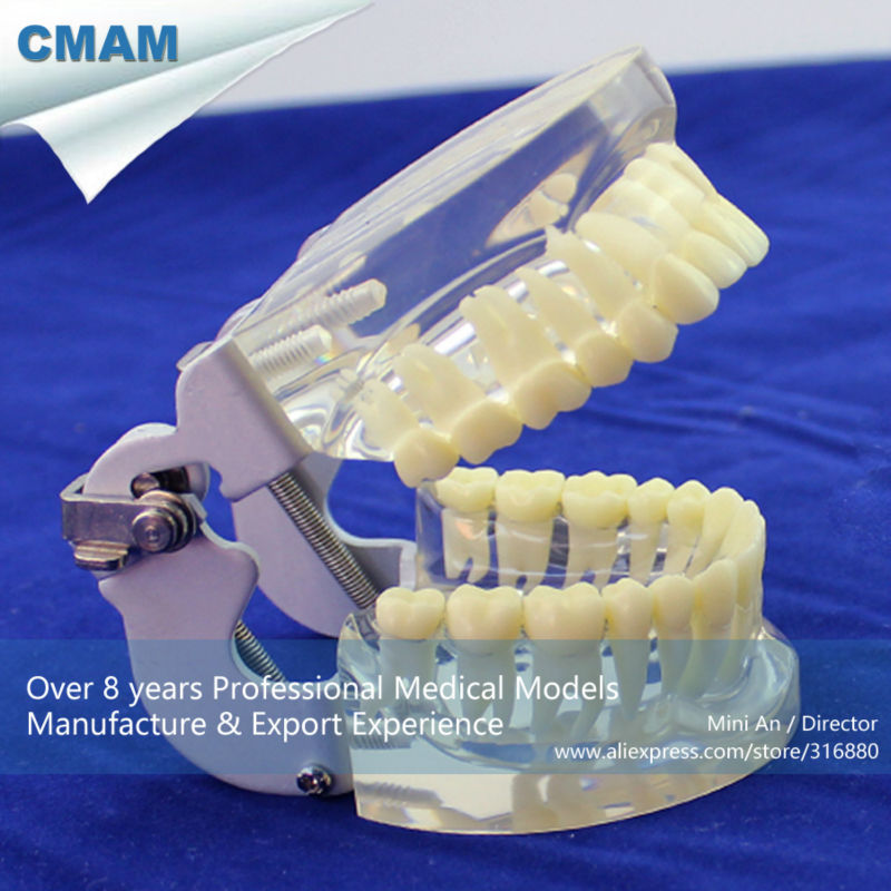 12572 CMAM-DENTAL12 Transparent Jaw Model with Teeth for Self Brushing Educaion pro teeth whitening oral irrigator electric teeth cleaning machine irrigador dental water flosser teeth care tools m2