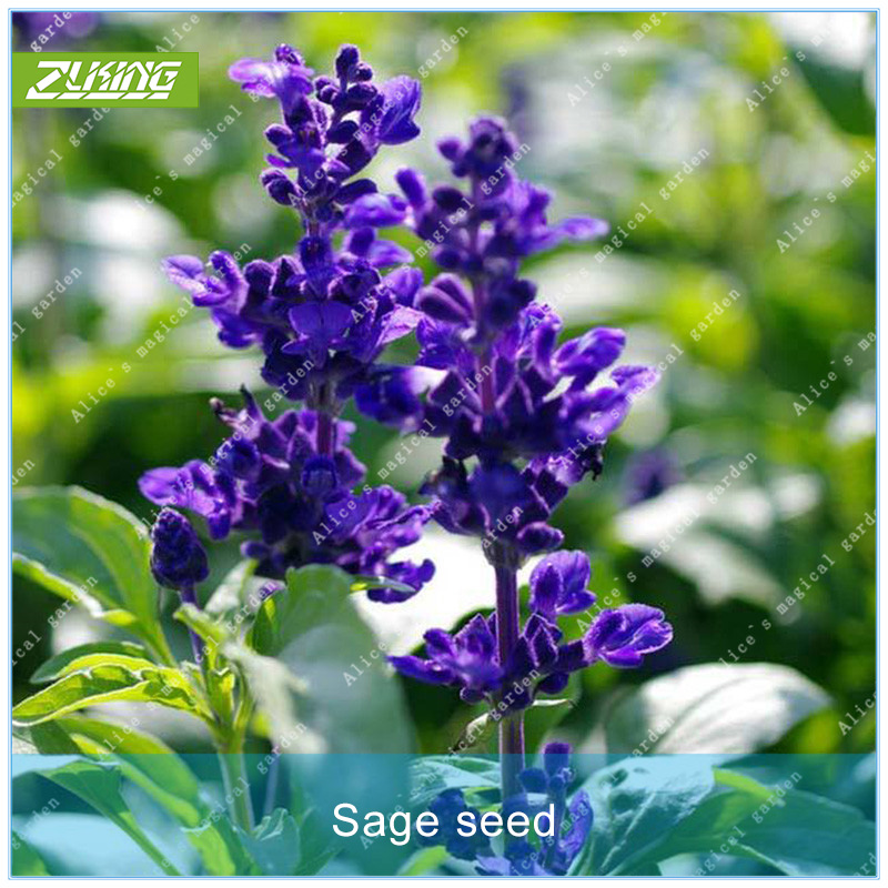 ZLKING 100PCS Sage Seed Grass Seeds Bonsai Plants For Home Garden Fast Growing Plant Seed Natural Flowers Garden