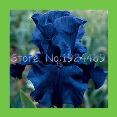 50 STÜCKE einzigartige schwarze orchidee blumen blau iris samen ...