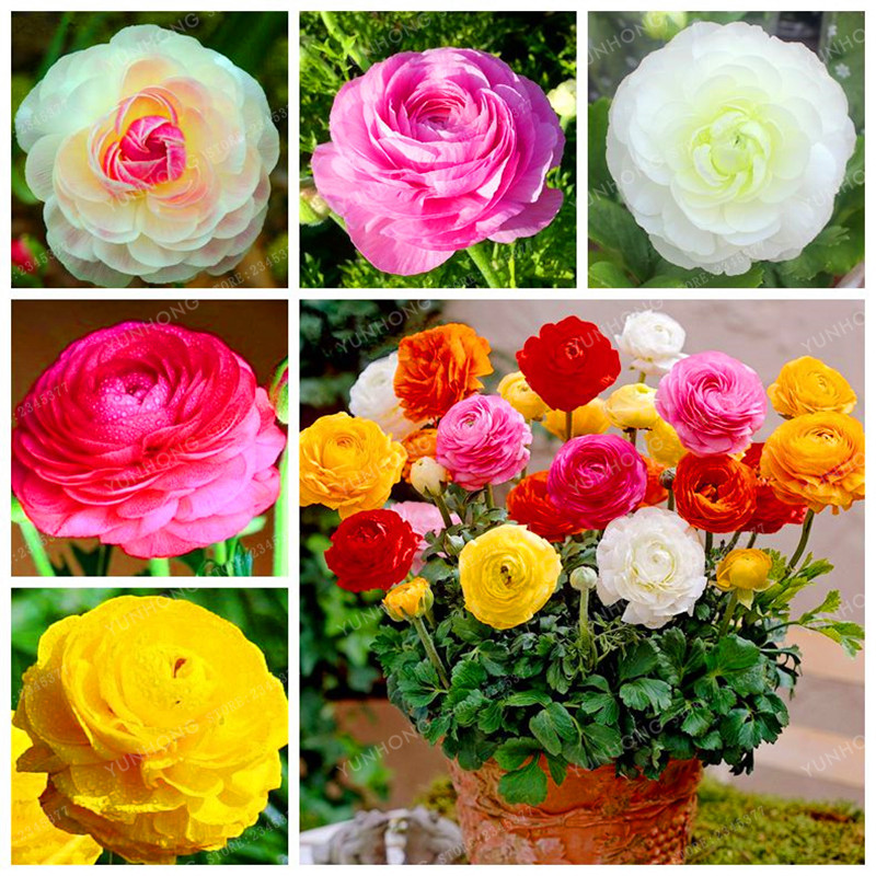 Mixed Colors Ranunculus Seeds Diy Potted Plants Seed Germination Rate Of 95% For Home Garden Indoor Bonsai Plants 100 Pcs