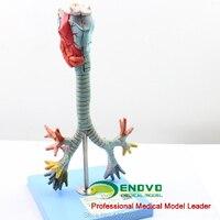 ENOVO Human larynx and tracheobronchial tree model laryngeal anatomical model pulmonary broncholaryngoscope demonstration