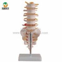 BIX-A1011 실물 크기 척추 테일 척추 모델 G027