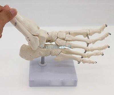 Image 2 - Foot and Ankle Joint Functional Anatomical Skeleton Model Medical Display Teaching School Life Sizeanatomical skeleton modelskeleton modelanatomical skeleton -