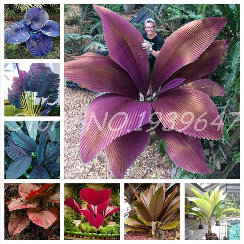 הגעה חדשה 10 pcs מיני סאגו כף עץ בונסאי פרח נדירים רב שנתי חדר בעציץ חיצוני צמח עבור בית תפאורה גן קל לגדול