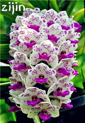 Gran venta! 100 piezas rara orquídea Cymbidium Plantas Africana orquídeas Plantas Phalaenopsis bonsai flor para casa jardín decoración