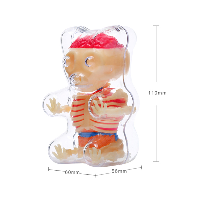 Wissenschaft Spielzeug 4 DMASTER Anatomie Modell Perspektive Bär ...