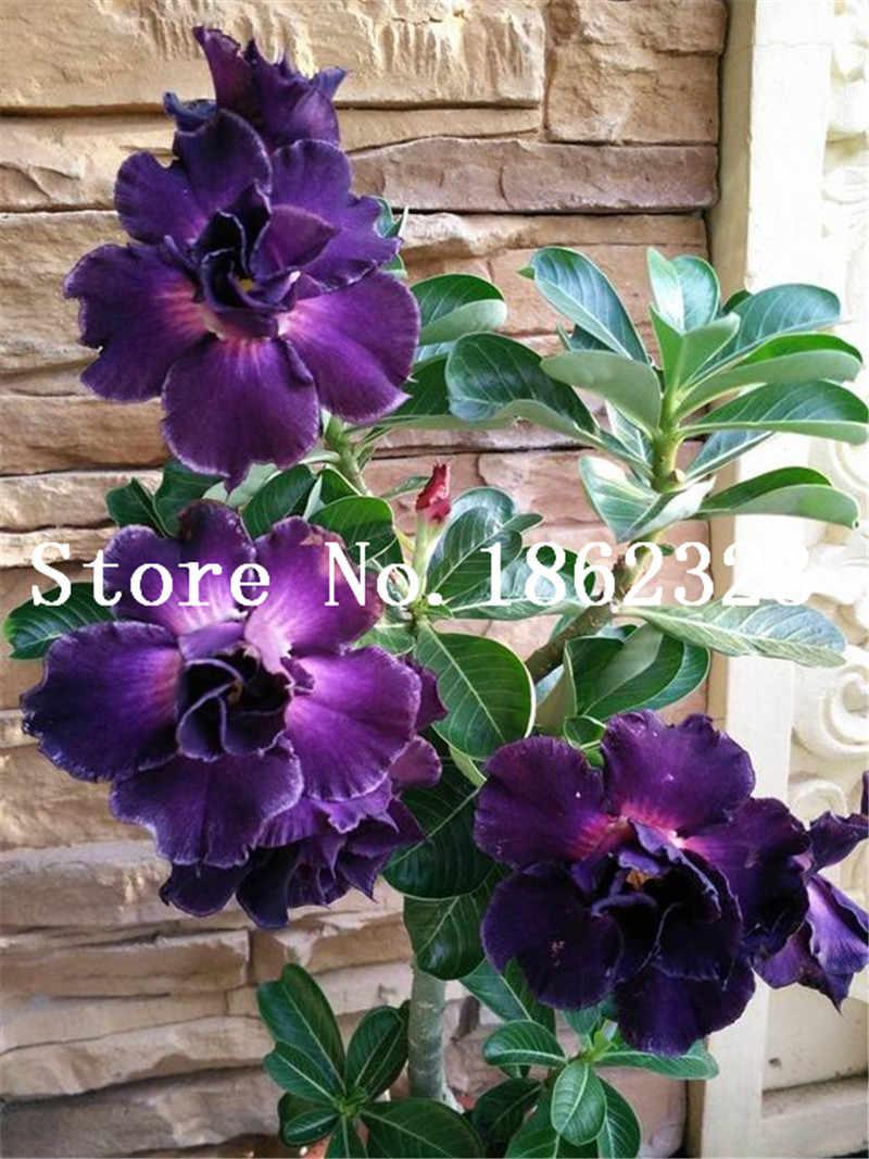 1 قطعة ارتفع الصحراء بونساي بوعاء الزهور بونساي العدينة Obesum داخلي بونساي النبات البسيطة بوعاء شجرة للمنزل حديقة النبات