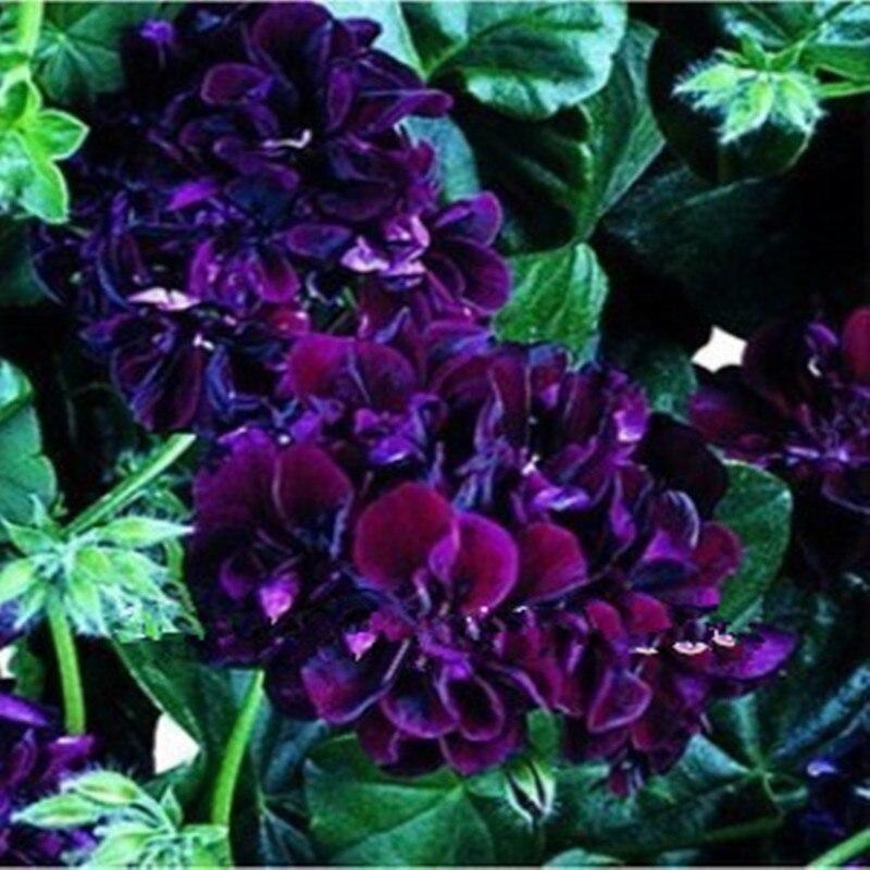 ᗖPúrpura rara semillas de geranio, balcón en maceta, estaciones de ...