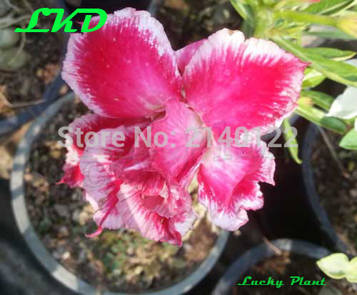 20 frische adenium obesum seeds thailand rare echt w stenrose samen no86 double. Black Bedroom Furniture Sets. Home Design Ideas