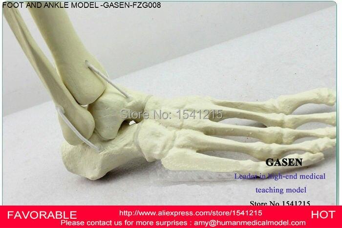 Lower Limb Bone Model Ankle Foot Patella Tibia And Fibula Femur