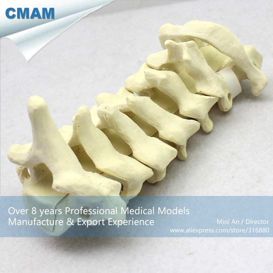 12312 CMAM-TF01 C1-C7 Cervical Vertebra Bones Model for Training Practice, Medical Science Training Anatomical Models 12421 cmam cpr01 oral and nasal cavity intubation training simulator model medical science training anatomical models