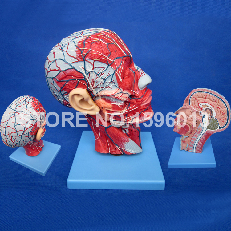 HOT Head with Vessels and Neck Model, Anatomical Head Model with Brain,Nerves,Vascular Muscles and Vessels iso detailed anatomical model of human head with vessels and nerves