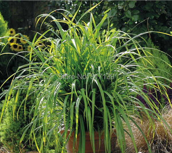 j new home garden plant 5 seeds genuine grass carex pendula fresh look drooping sedge herb seeds. Black Bedroom Furniture Sets. Home Design Ideas