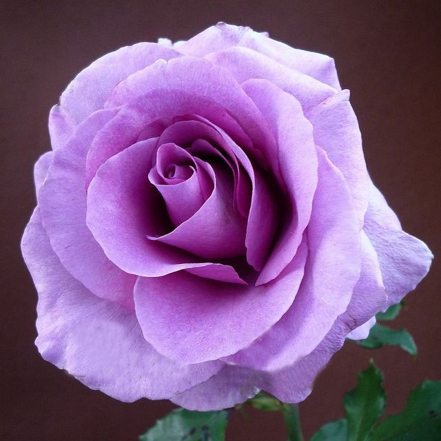 Lavender Rose Seeds Elegant Fragrant DIY Home Garden Bush Bonsai Yard Flower So Special 120PCS