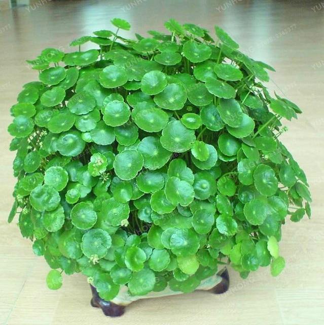 Hydrocotyle Vulgaris Seeds Potted 100 Seeds Hydroponics Flower Aquarium  Plants Penny Grass Seeds Best Indoor Bonsai