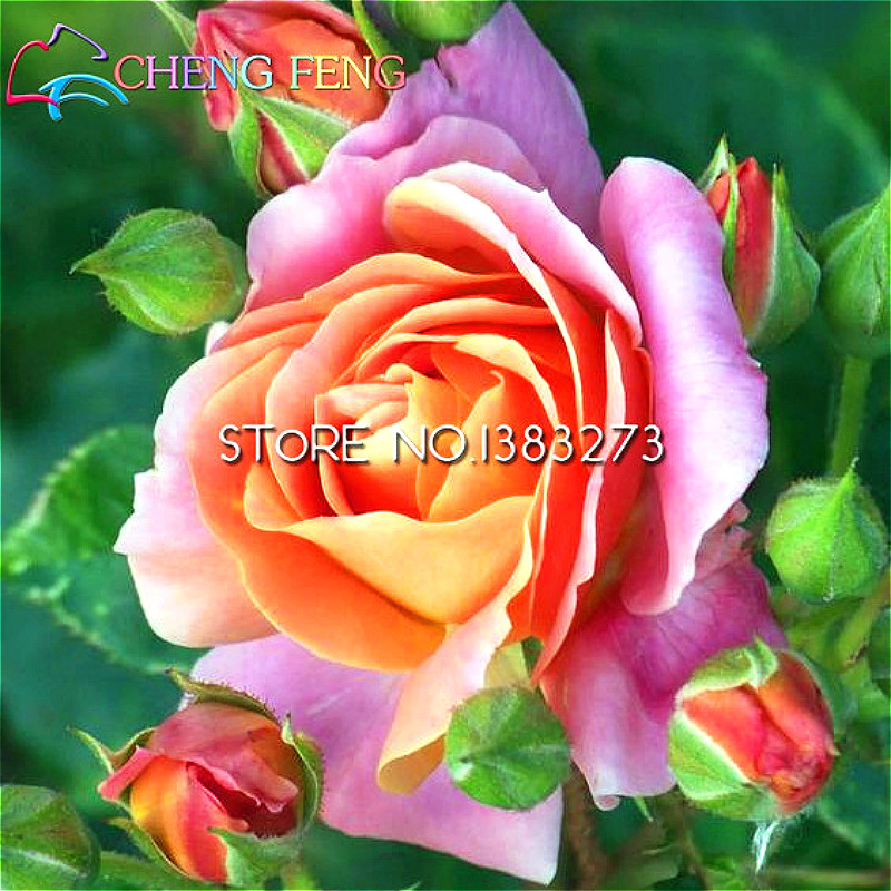 Free Delivery 100pcs 6 Colors Of Rose Seeds Beautiful Striped Rose Bush Plant Diy Home Garden Very Easy Plant Sedum Flowers