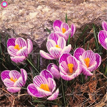 2pcs Saffron Bulbs Beautiful Indoor Bonsai Flower Bulbs NOT SEEDS 11colors Blooming Plants for Home Garden Decor Best packaging