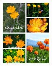 20pcs Jinlian Trollius Chinensis lotus flower perennial potted plant for home garden Decoration Out door Plants