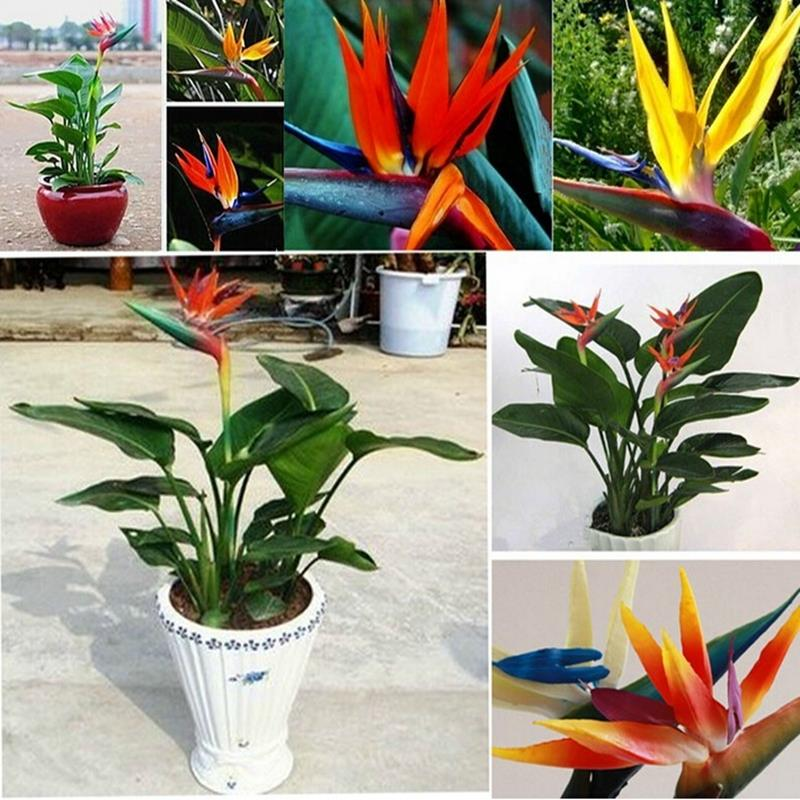 Aliexpress Buy Bird Of Paradise Mix Seeds 5 Pcs Evergreen Perennial Plants Hard To Grow From Reliable Plant Garden Suppliers On Green Gardening