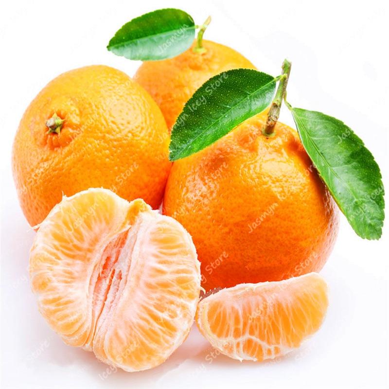 Citrus-plant-Bonsai-Mandarin-Orange-bonsai-Edible-Fruit-Bonsai-Tree-plant-Healthy-Food-Home-Garden-Easy