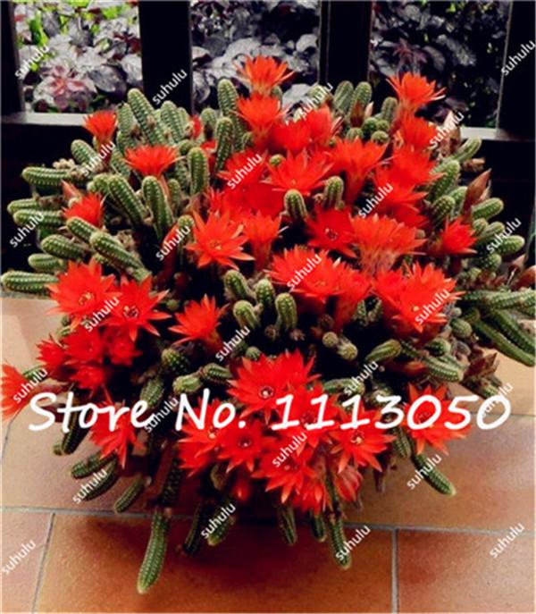 unids mexicano hbridos epiphyllum semillas de flores raras orqudeas decoracin de jardn de plantas de
