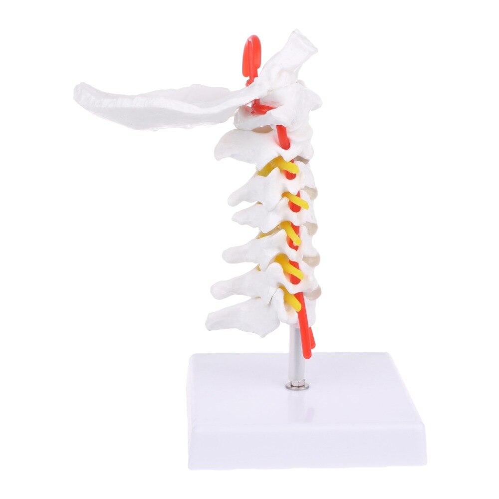 Cervical Vertebra Arteria Spine Spinal Nerves Anatomical Model Life Size  Cervical Vertebra Arteria Spine Spinal Nerves Anatomical Model Life Size