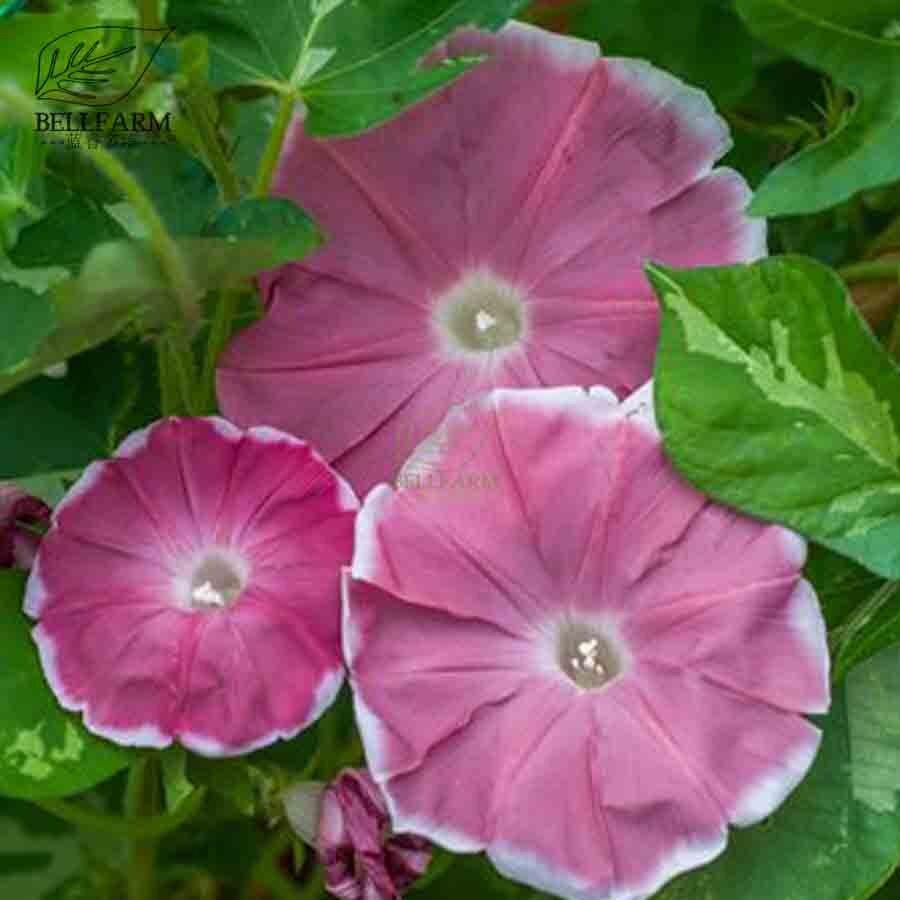 Bellfarm Bonsai 13 Types Of Garden Morning Glory Climbing Flowers