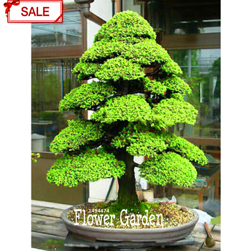 Promotion!Cedar Tree Seeds Cedrus Bonsai Bonsai DIY Home Garden Plant 10 Particles / pack,#QGFN76