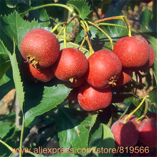 real chinese shan zha tree seeds hawthorn fruit tree seed hawthorn, Beautiful flower